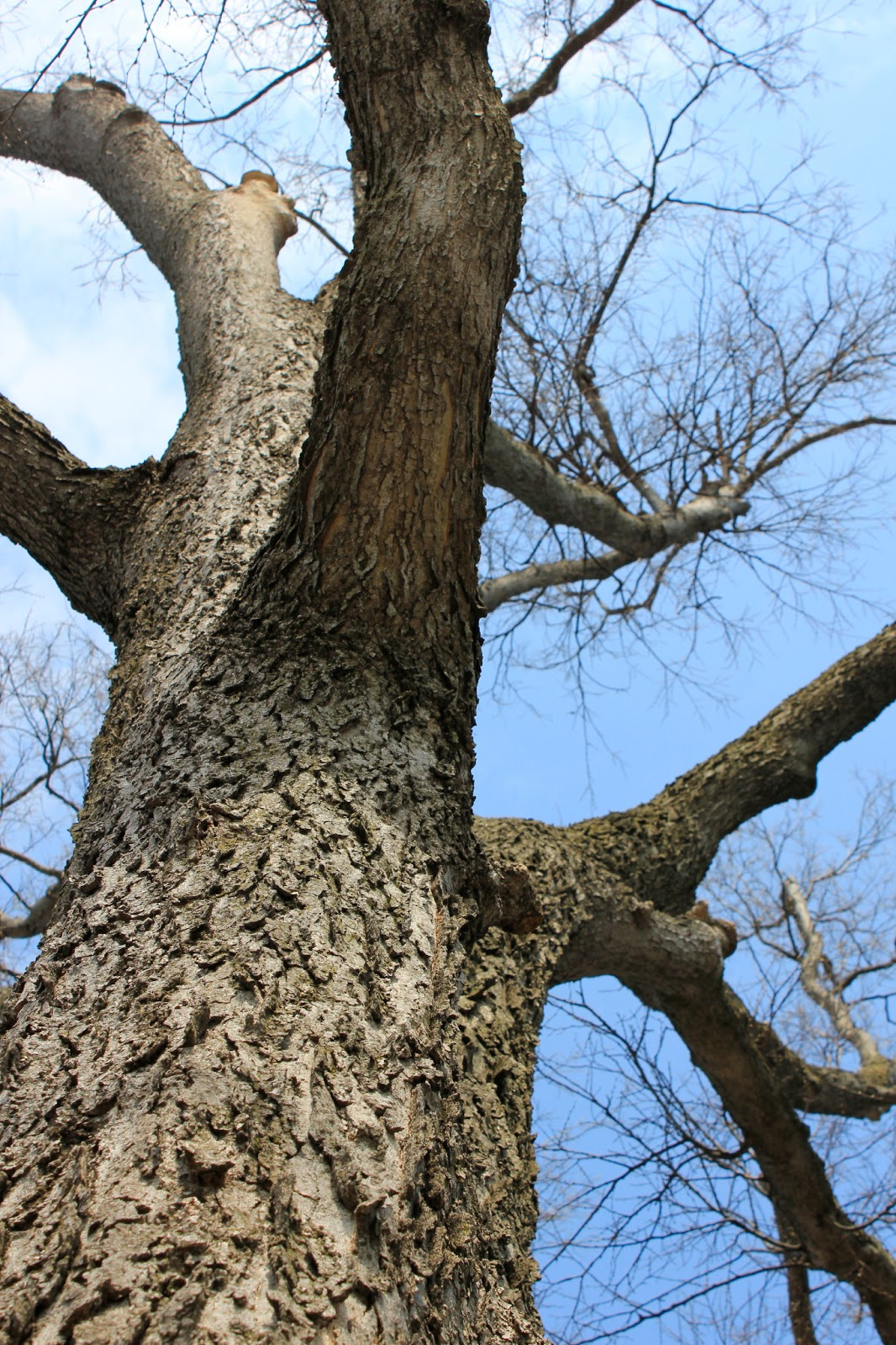 A Rough Guide To Types Of Scientific Evidence: Biological Thinking: The Hackberry: A Lesson In Bark