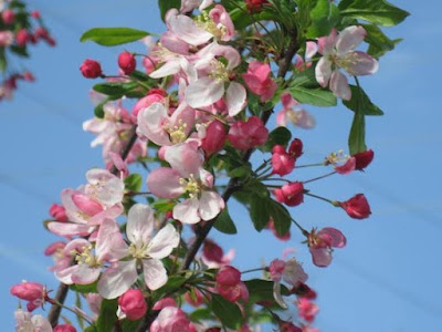 Kristin Holt   Victorian America's Crabapple Jelly and Preserves. Photo: blossoming crabapple tree branch, courtesy of Pinterest.