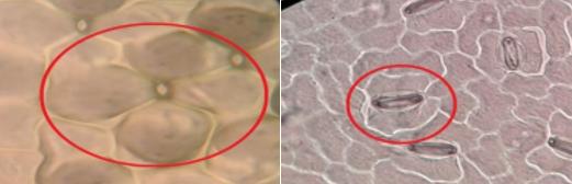 Stomata tanaman monokotil (kiri) dan dikotil (kanan)