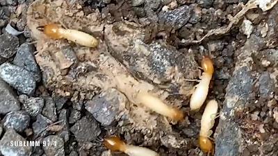 Photo de termites soldats