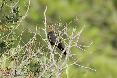 Merla jove (Turdus merula)