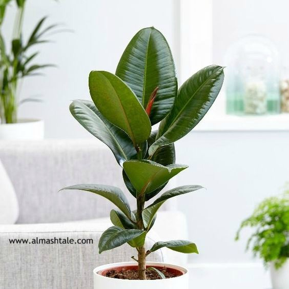 شجرة الفيكس المطاط Ficus Elastica من أجمل وأقوى أشجار الزينة rubber plant