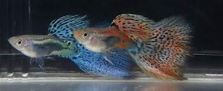 أسماك الطاووس الصينية الرائعة الجمال سبحــــــان الله image02221-748412.jp