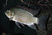 Klasifikasi Ikan Mujair dan Morfologi Ikan Mujair (Oreochromis mossambicus)