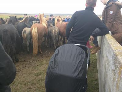 horse roundup Iceland