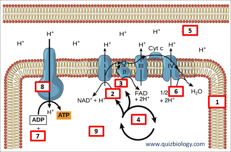 Diagram Quiz On Chemiosmosis And Atp Synthesis