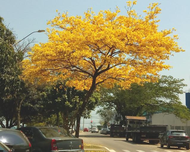 Árvore de Ipê amarelo florida entre automóveis