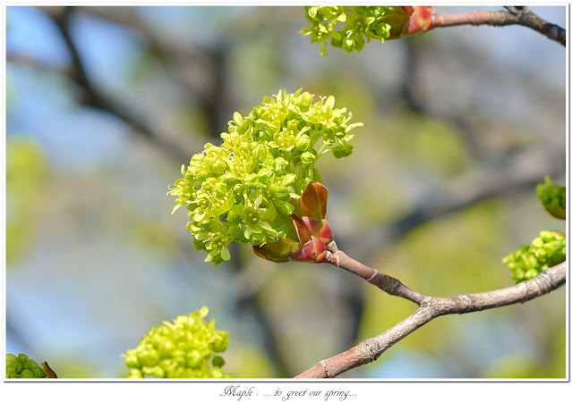 Maple: ... to greet our spring...