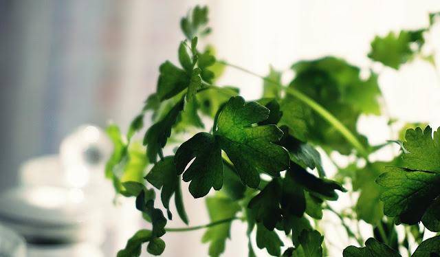 cilantro growing on stalk