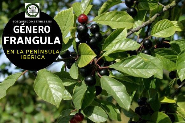 Lista de Especies del Género Frangula, Familia Rhamnaceae en la Península Ibérica