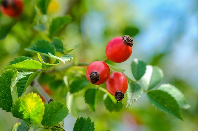 Rose Hips: What They Are And Their Benefits