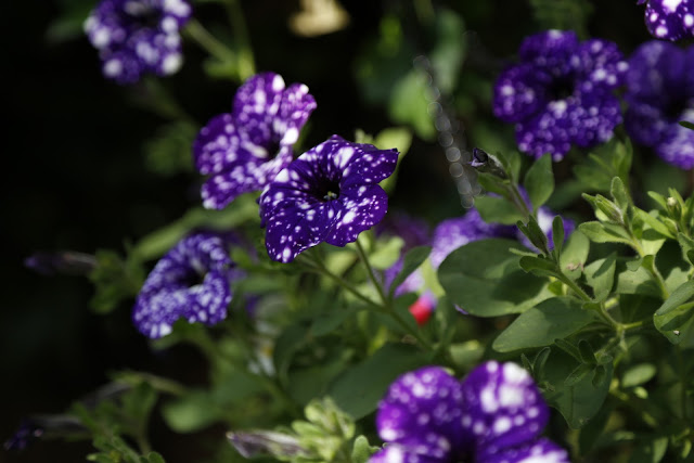Trailing Petunia 'Night Sky'