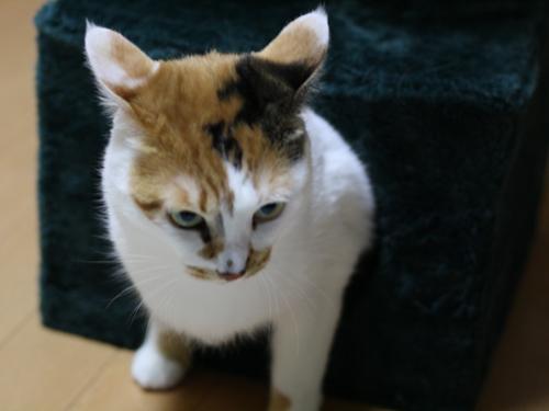 愛貓網: 貓咪根本是天生的飛行員!飛機耳超可愛!