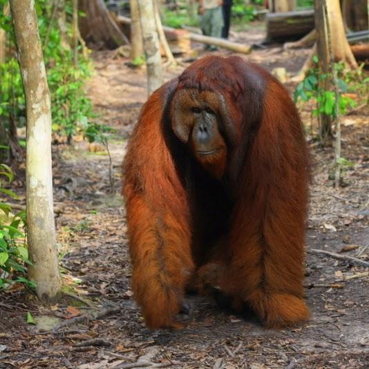 Tour klotok price Orangutan in Tanjung Puting