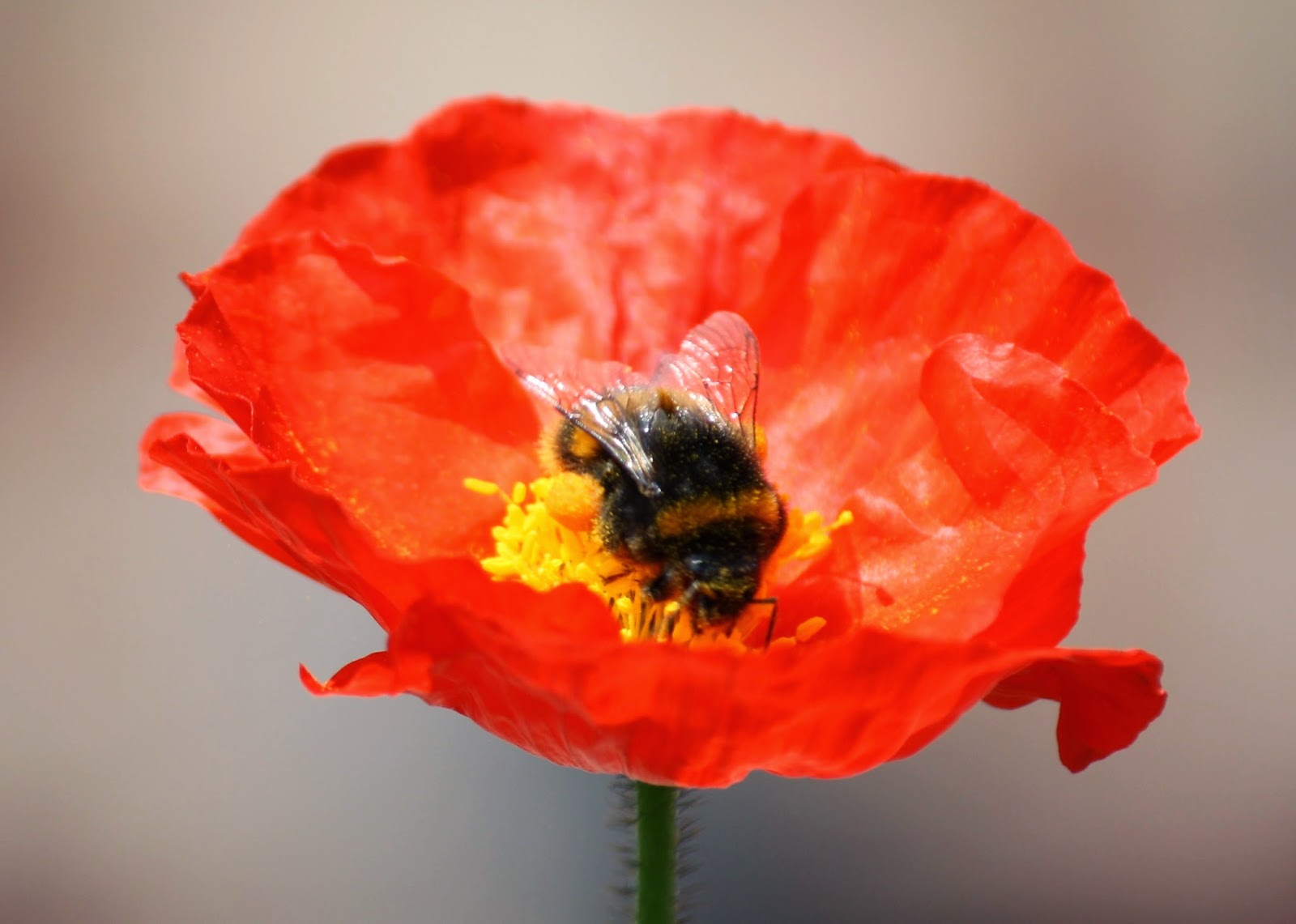 Honey Bee, Handmade Monday : Poppies In The Garden