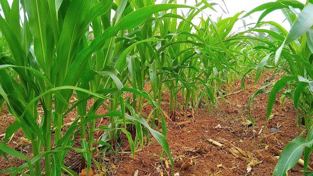 Tidak ada persyaratantan tumbuh yang rumit baik jagung lokal, jangung manis, maupun jagung hibrida. semua syarat tumbuh tanaman jagung baik iklim dan ketinggian tempatnya. begitupun syarat media tanman yang baik untuk digunakan sebagai tempat budidaya jagung. Daerah penghasil jagung terbesar di Indonesia adalah Jawa NTT, Sulawesi dan Maliku