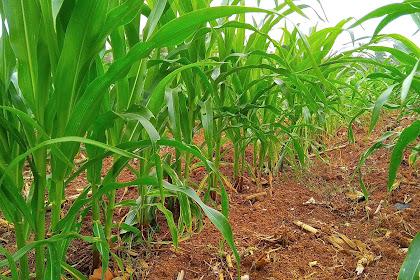 Syarat Tumbuh Tanaman Jagung Yang Harus Petani Ketahui