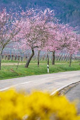 Pfälzer Mandelpfad | Etappe 05 Edenkoben – Birkweiler | Wandern Südliche Weinstraße | Mandelblüte Pfalz 04