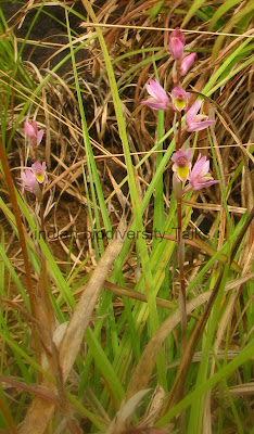 terrestrial orchid, orchid species,Western Ghats orchids, kerala orchids, orchid pciture, grass land orchid, shola forest orchid