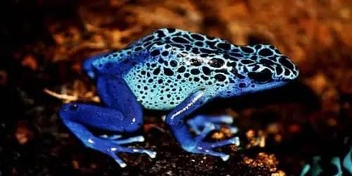 ब्लू पॉइजन डार्ट फ्रॉग, Blue poison dart frog, poison dart frog in hindi, jahrila medak, सबसे जहरीला मेंढक कौन सा है, जहरीला मेंढक, पीला मेंढक, मेंढक का जहर, जहरीला मेंढक कौन सा है, दुनिया का सबसे जहरीला मेंढक, duniya ka sabse jahreela medak, दुनिया का सबसे जहरीला मेंढक कौन सा है,