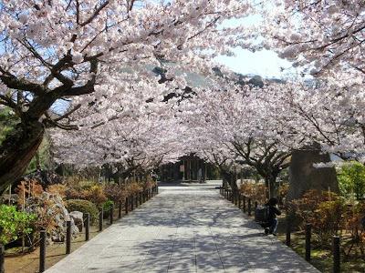 建長寺の桜のトンネル