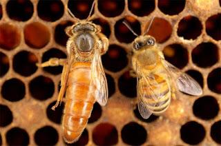 Ratu Lebah Madu, Hidup untuk Membunuh & Dibunuh