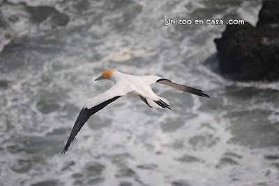 Australasian gannet - New Zealand