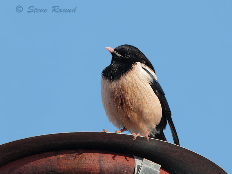 rose-coloured starling, bird, nature, wildlife