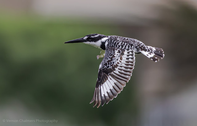 Pied kingfisher in flight - Table Bay Nature Reserve