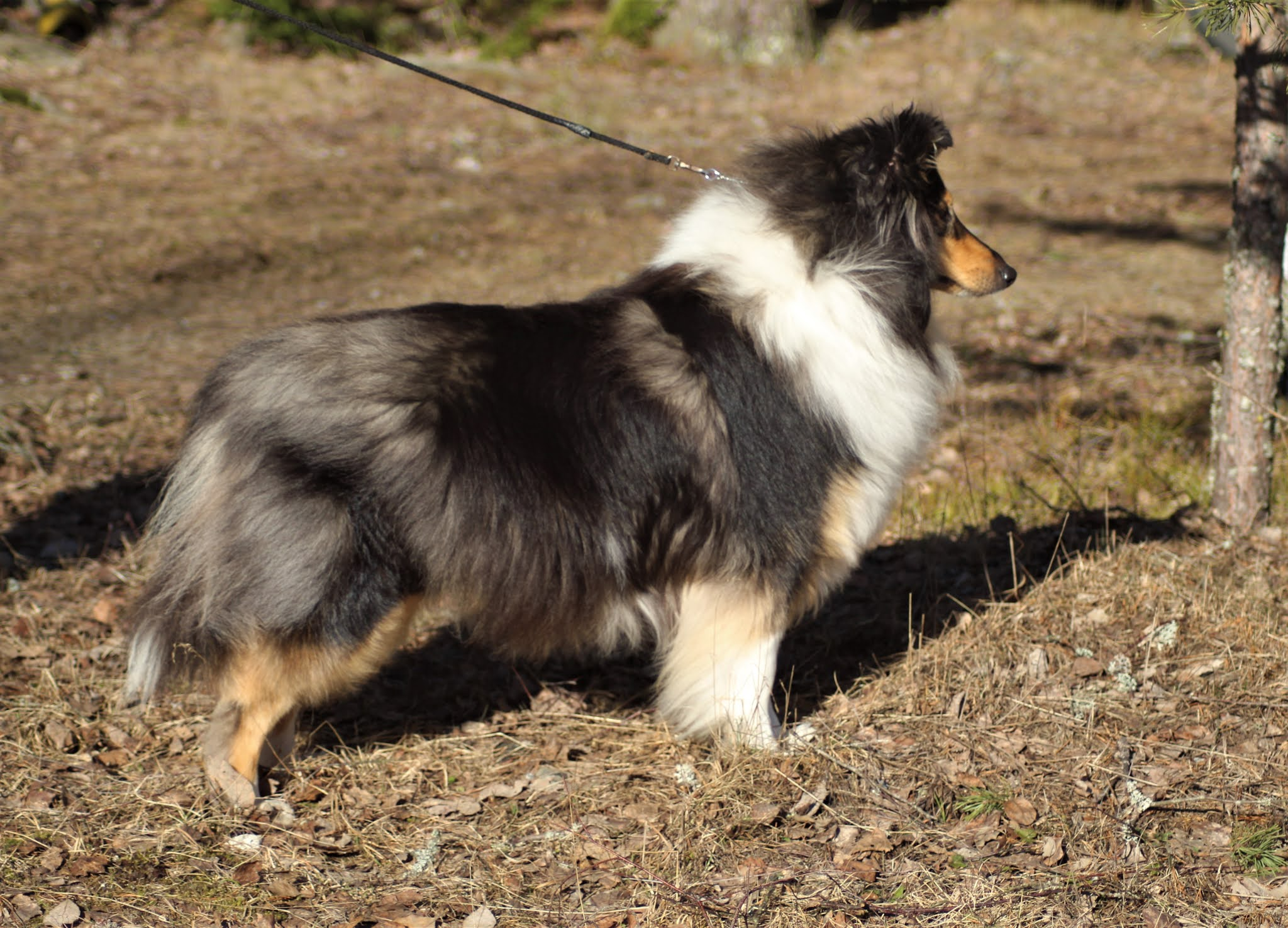 Pitkäkarvainen collie, Leaftribe To The Moon And Back