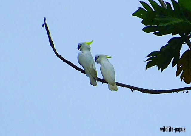 Birdwatching in Manokwari of Indonesia
