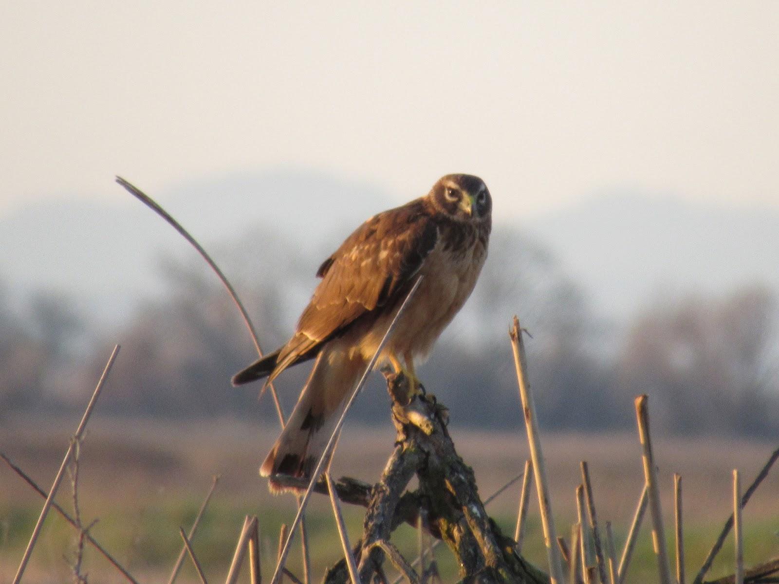 Wings And Daydreams Birds Of Prey Sacramento National Wildlife Refuge Auto Tour
