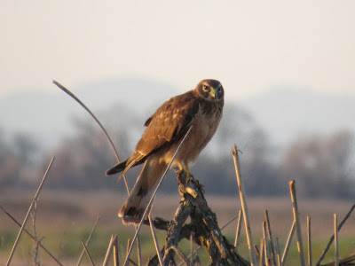 northern california birds of prey