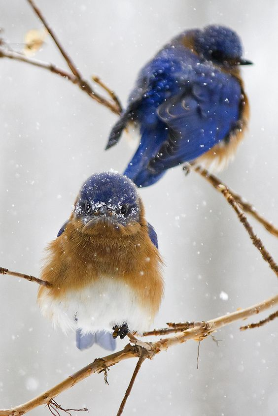 Beautiful winter scene with two bluebirds in snow on branch