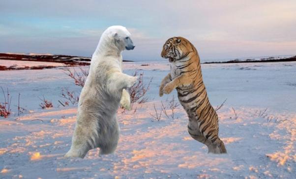 hổ thắng gấu