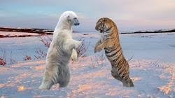 Hổ Siberia VS Gấu Bắc cực kẻ nào sẽ chiến thắng?