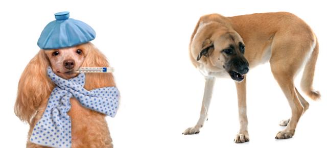 köpeklerin neden kusar