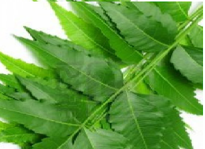 Benefits of Neem for hair, skin and health Treat Scalp related issues