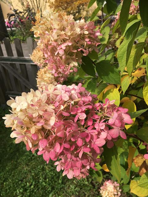 Herbst, Blüten, Hortensie