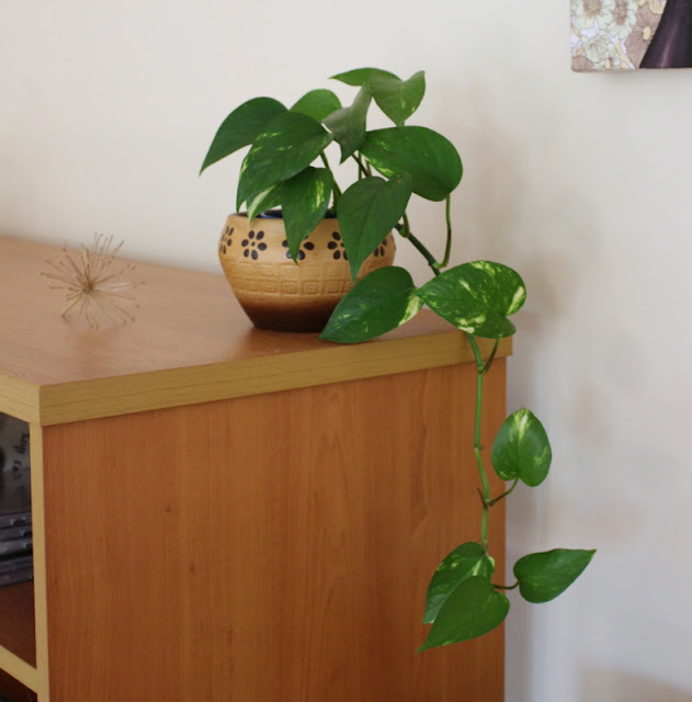 (Pathos) Devils ivy indoor plant in vintage planter pot