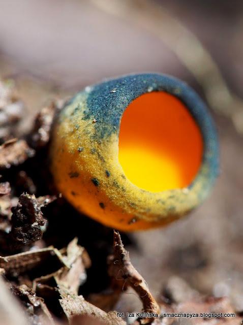 kielonki blyszczace, grzyby, wiosna, malutkie grzybki, kolorowe grzyby, zolte czarki, las bemowski, grzybobranie, grzybowe znaleziska, grzybnieta