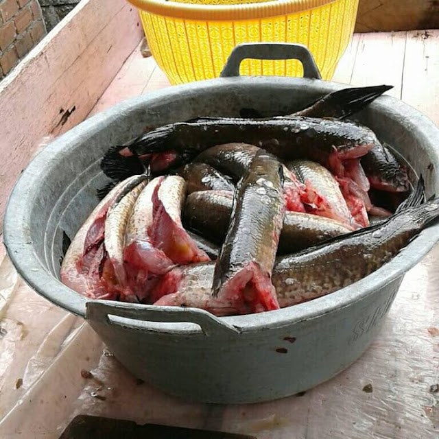 Sedia Ikan Gabus Di Cianjur, Jual Ikan Gabus, Penjual Ikan Gabus di Cianjur 0821-1177-8165