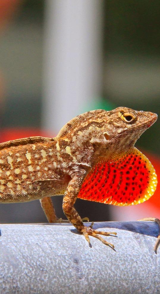 A lizard expanding its throat.