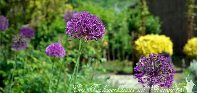 Zierlauch. Allium