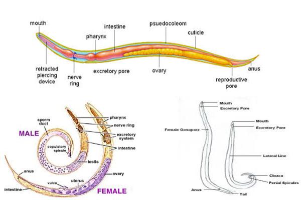 clasifică nemathelminthes dan annelida