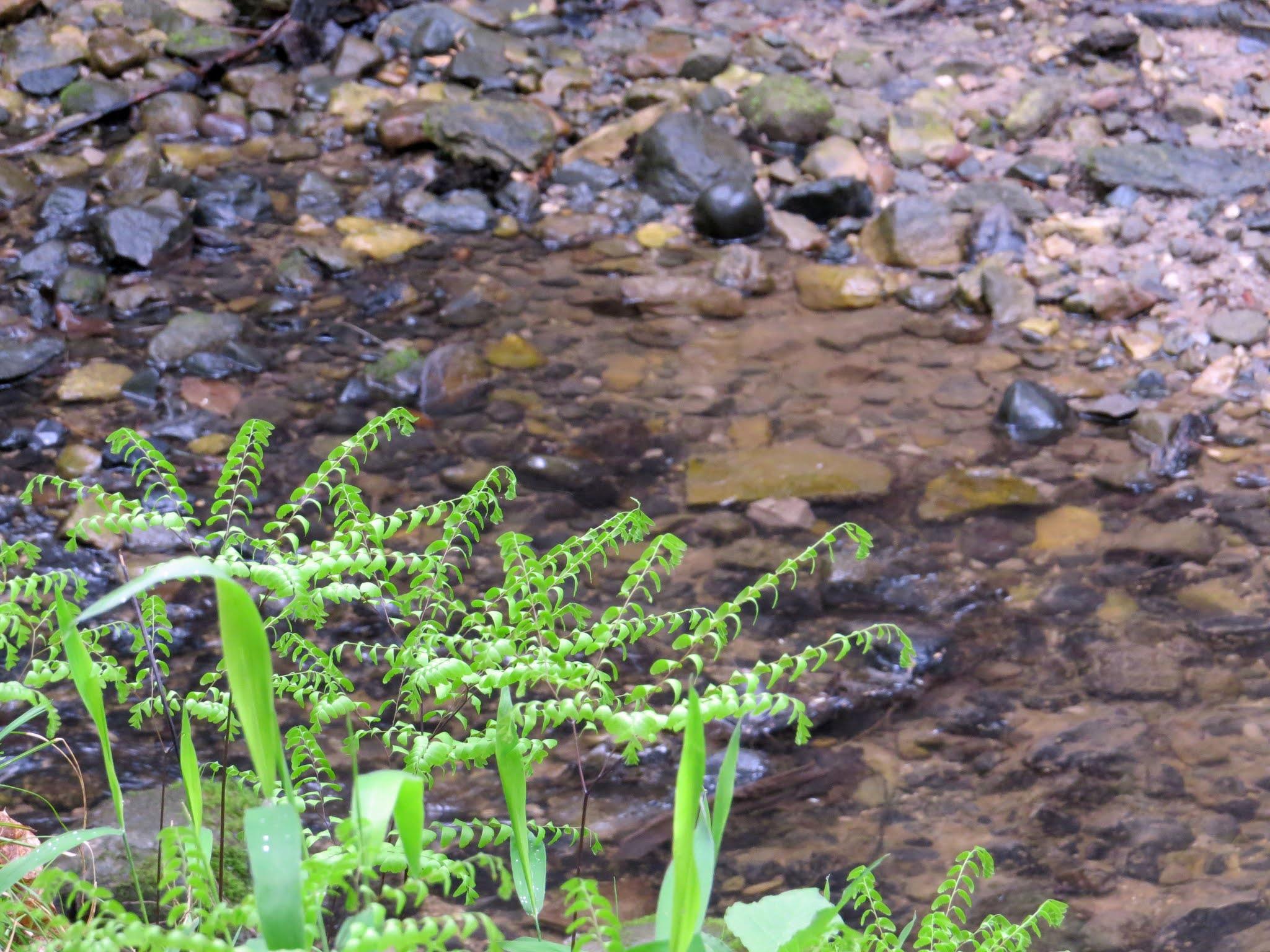 northern maidenhair fern