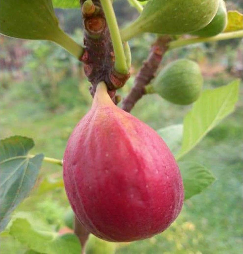 Bibit buah tin Jumbo Red Palestine sangat produktif Kalimantan Selatan