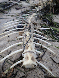 vertebrae of a fish lies as bare bones on the sand