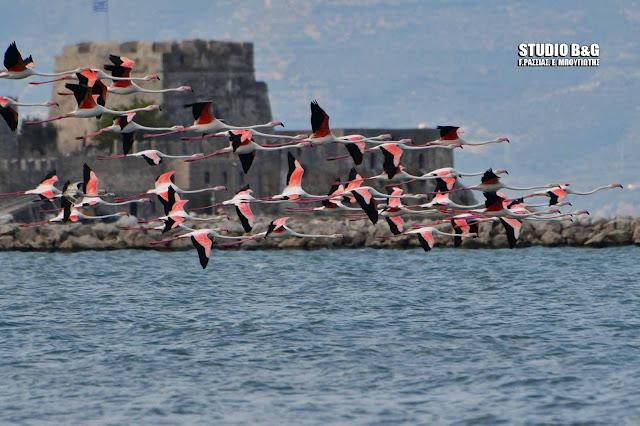 Έκρυψαν το Μπούρτζι δεκάδες φλαμίνγκο που κατέφθασαν στο Ναύπλιο