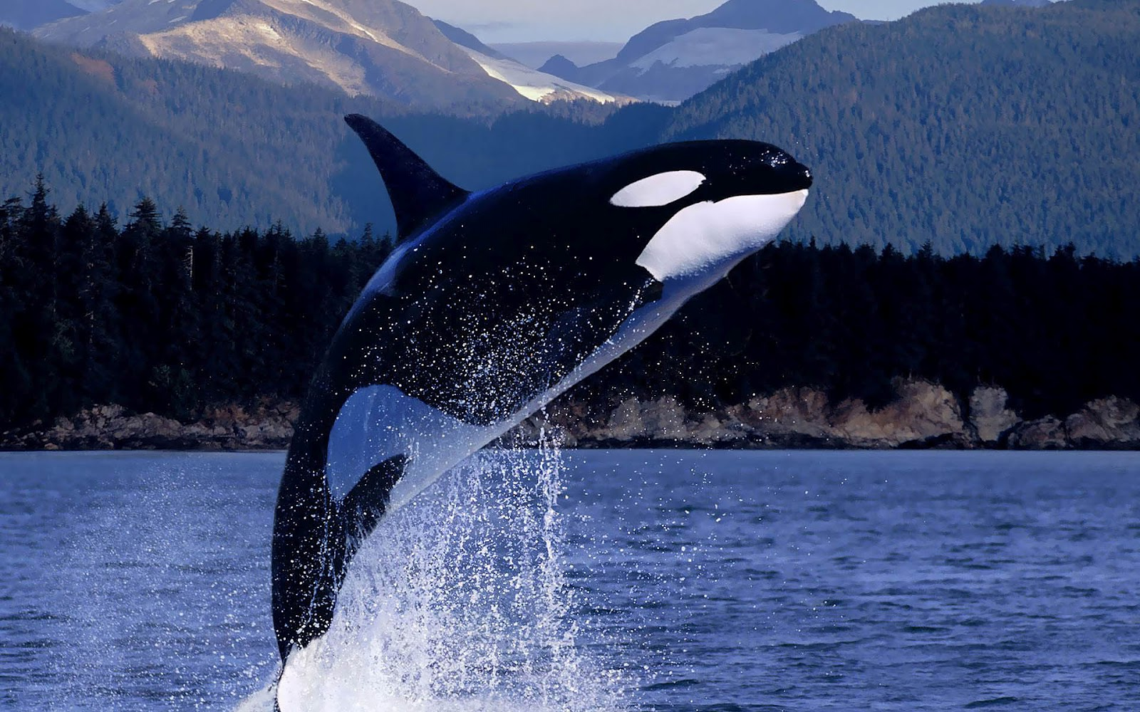 Free Animated Frog Wallpaper Orca Killer Whale Jumping Out Of The Water